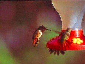 Oiseau mouche dans Nature colibri_quebec-300x227
